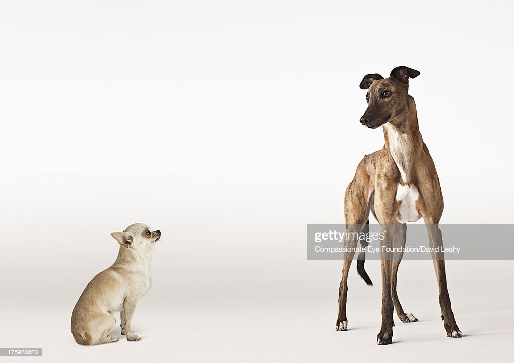 Portrait of Chihuahua and Greyhound : Stock Photo