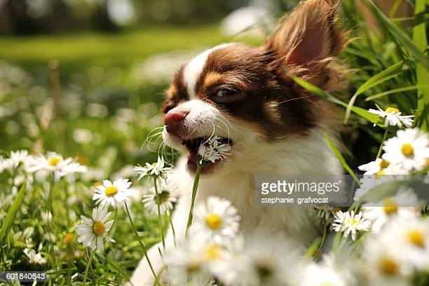 Portrait of chihuahua dog eating flowers in a garden