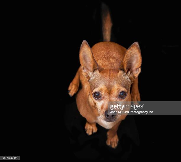 Portrait of Chihuahua looking up