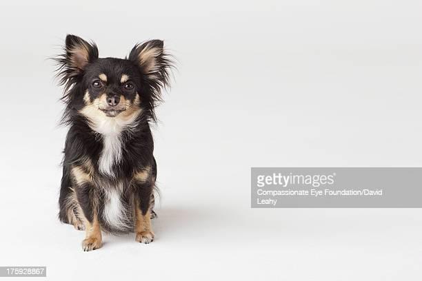 Portrait of Chihuahua