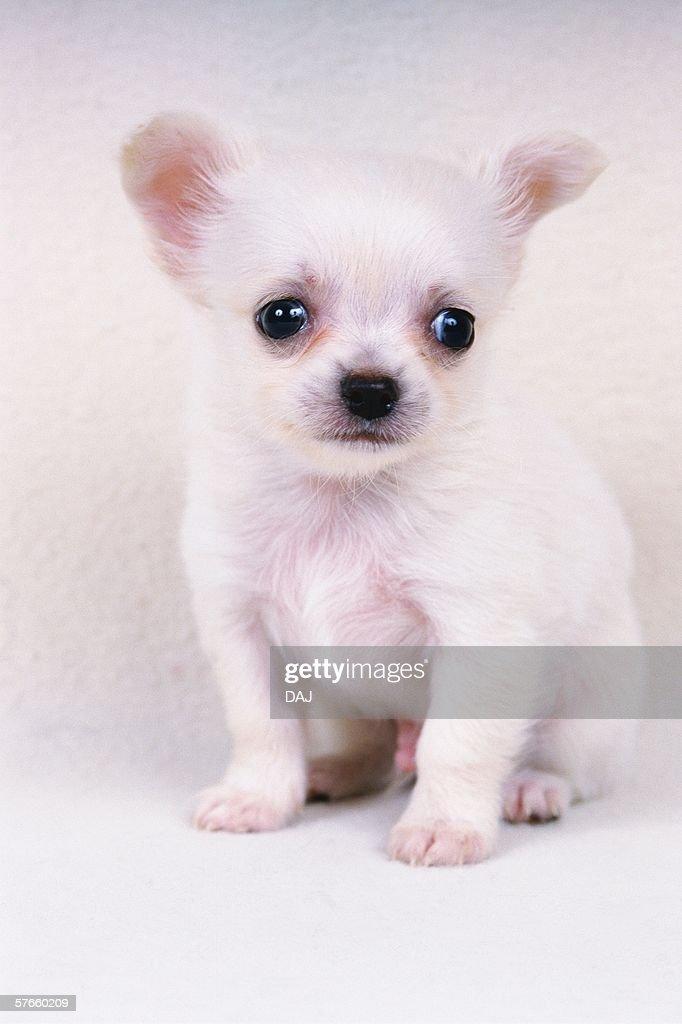 Portrait of Chihuahua : Stock Photo