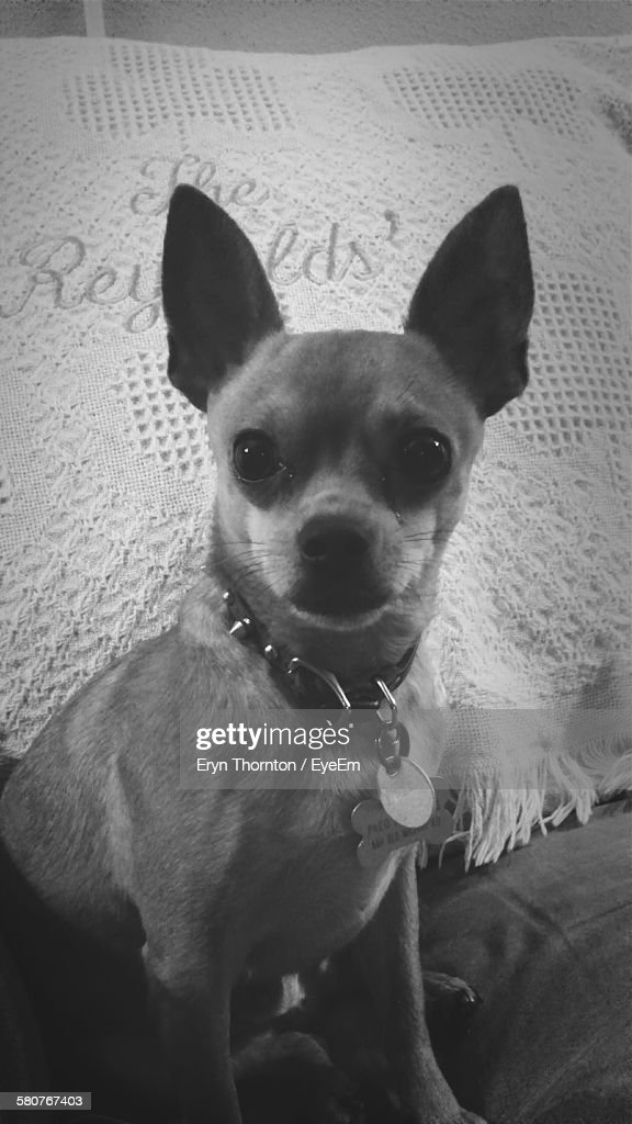 Portrait Of Chihuahua Sitting On Bed