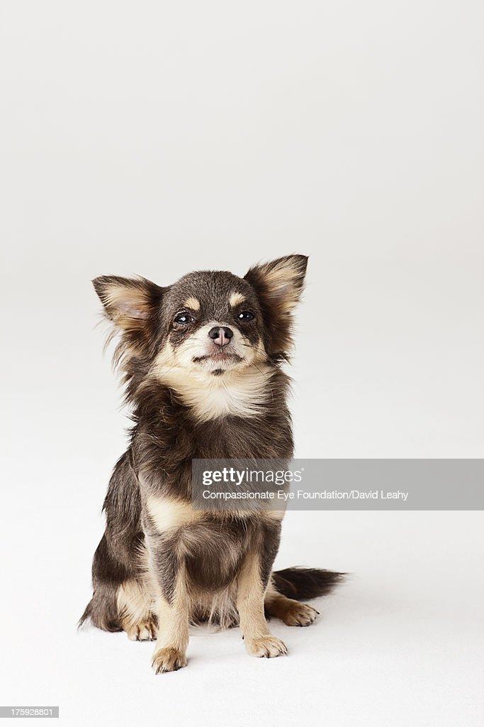 Portrait of Chihuahua sitting : Stock Photo