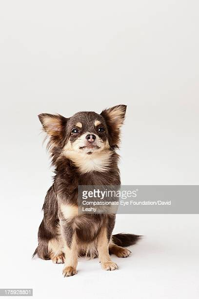 Portrait of Chihuahua sitting