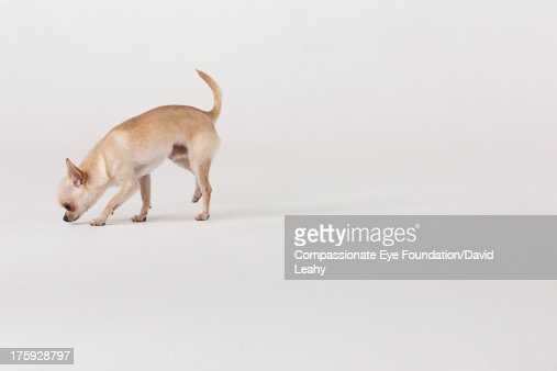 Portrait of Chihuahua sniffing ground : Stock Photo
