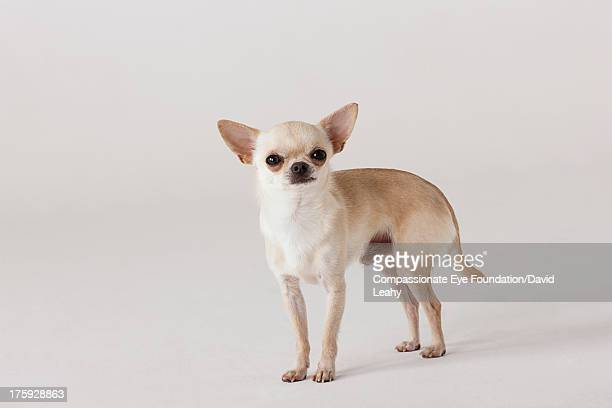 Portrait of Chihuahua standing