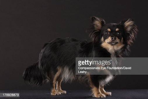 Portrait of Chihuahua standing, side view : Stock Photo