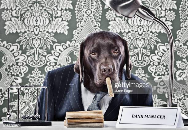 Portrait of Chocolate Labrador as bank manager