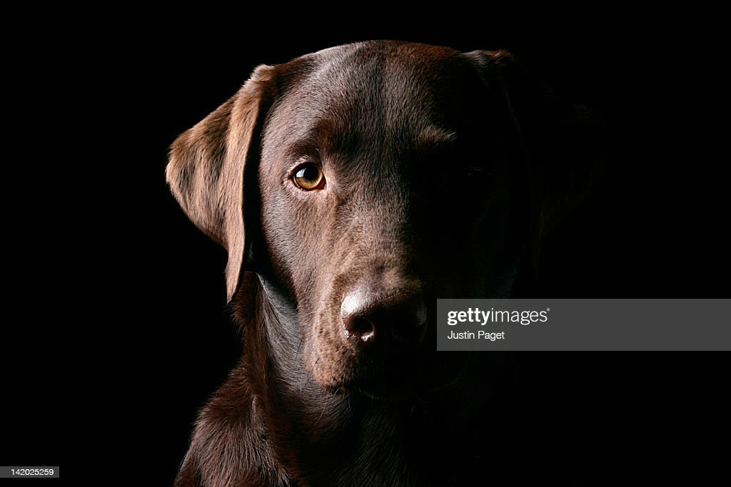 Portrait of chocolate labrador