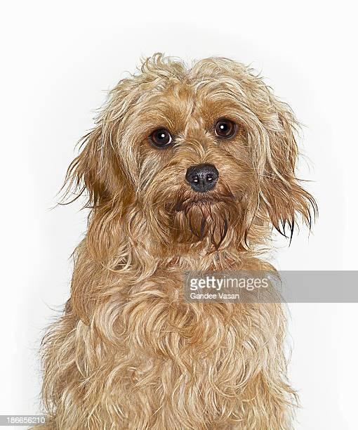 Portrait of Cockapoo Dog