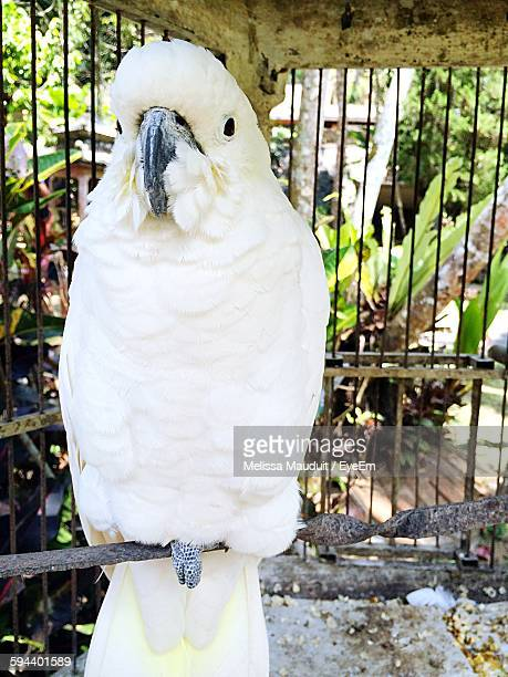 Portrait Of Cockatoo In Cage