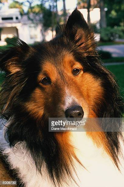 Portrait of collie