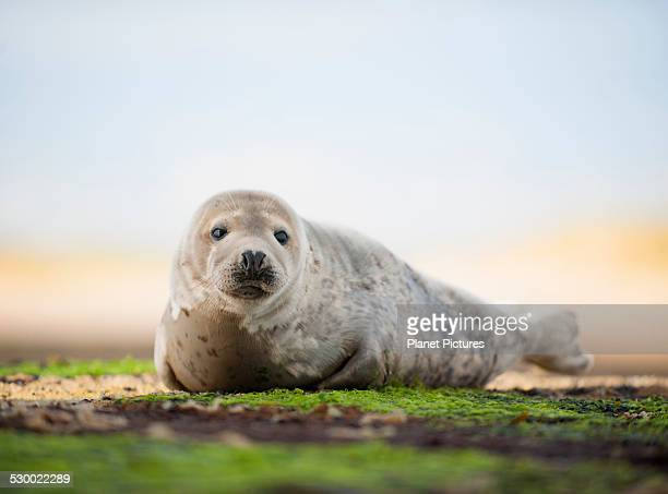 Portrait of common seal on beach