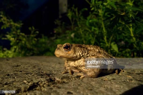 Portrait of Common toad
