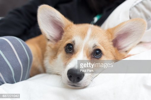 Portrait of corgi puppy