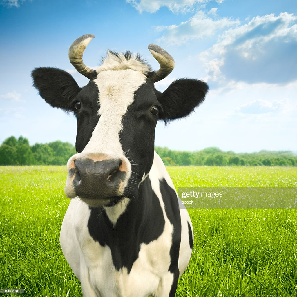 portrait of cow on green idyllic pasture stock photo getty images