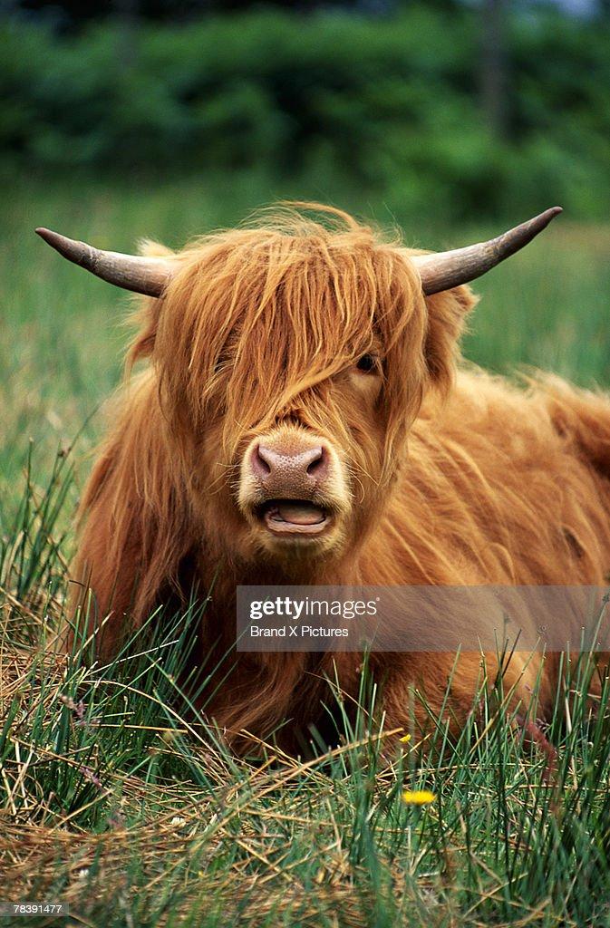 Portrait of cow : Stock Photo