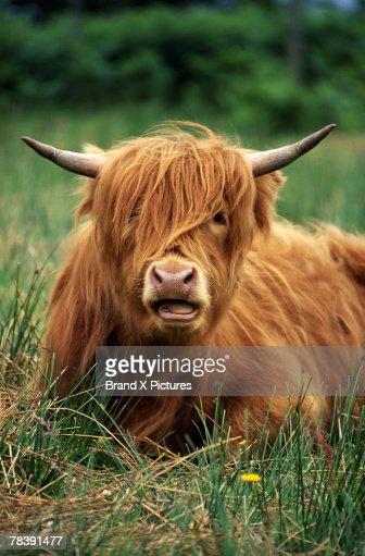 Portrait of cow : Foto de stock