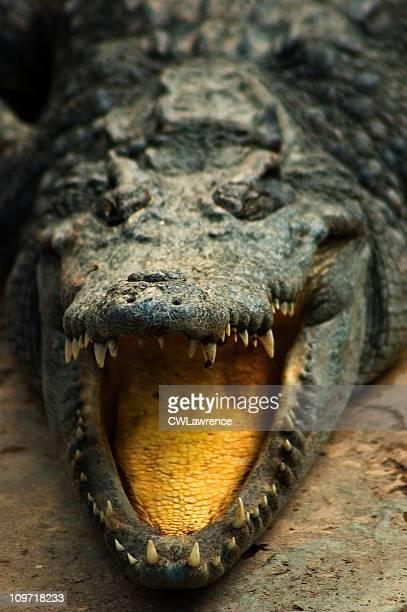 Porträt von Krokodilleder mit Mund öffnen