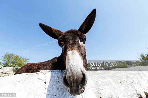 Portrait of curious donkey, Menorca, Spain