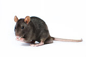 Portrait of curious gray rat isolated on white background.