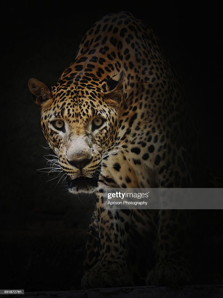 A portrait of curious Leopard
