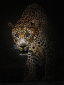 A portrait of curious Leopard