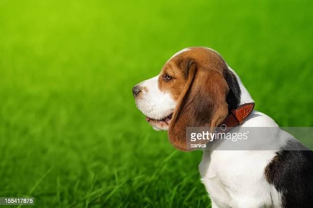 Porträt der süße beagle Welpen