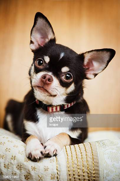 Porträt der süße Chihuahua