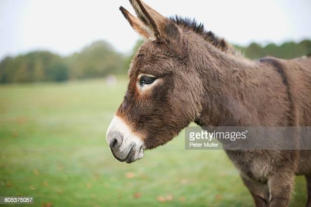 Portrait of cute donkey in field
