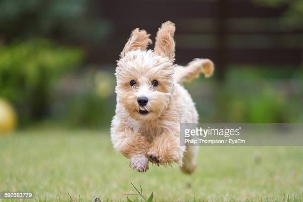 Portrait Of Cute Puppy Running On Grassy Field