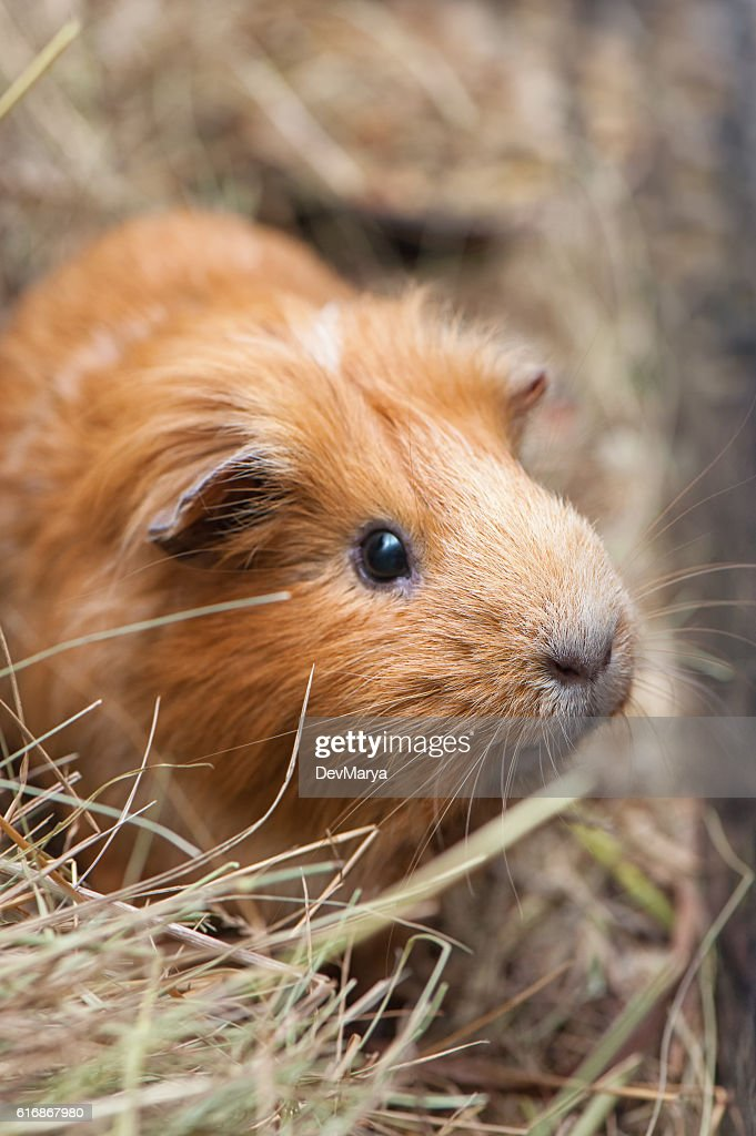 Portrait of cute red guinea pig : Stock Photo