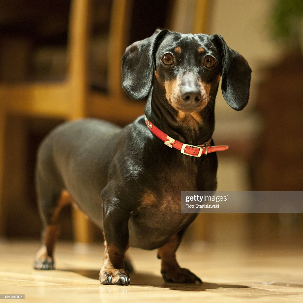 Portrait of dachshund : Stock Photo