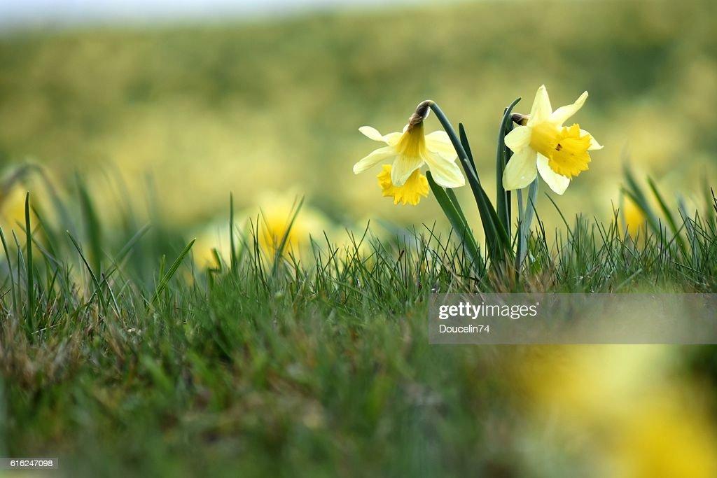 Portrait of daffodil : Foto de stock