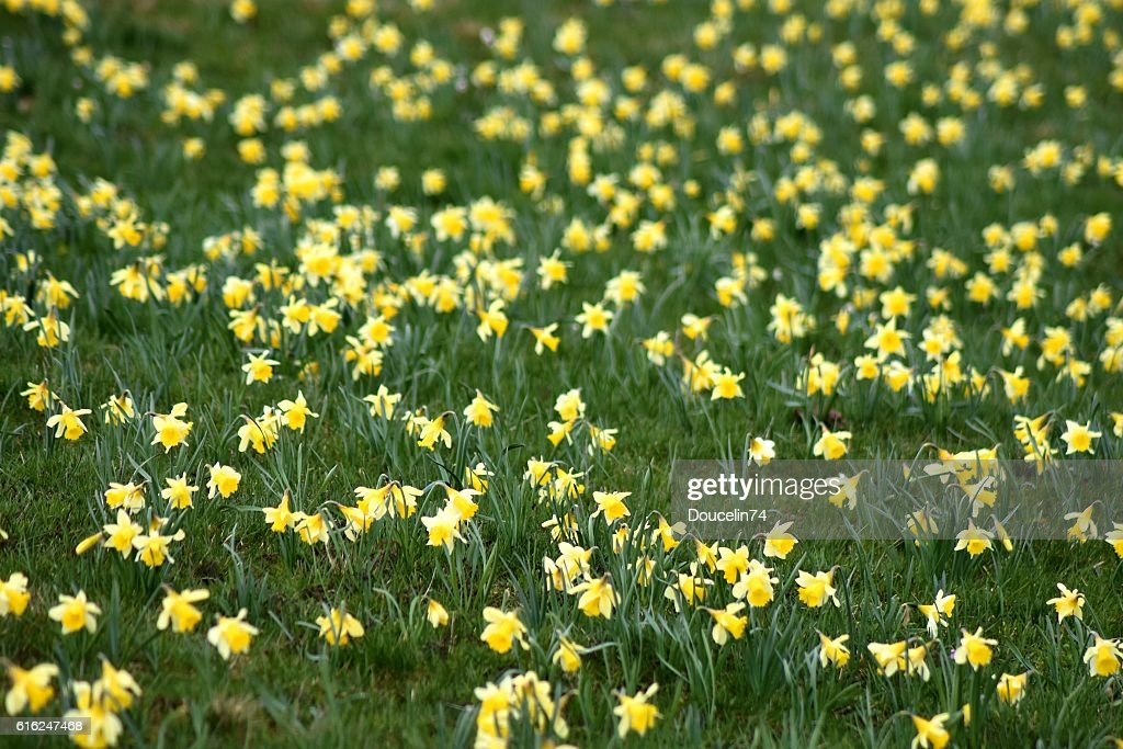 Portrait of daffodil : Stock Photo