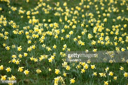Portrait of daffodil : Stock Photo
