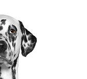 Portrait of dalmatian dog breed. Isolate. White background