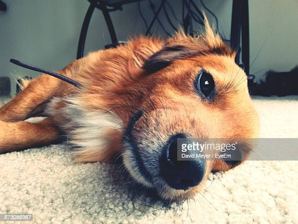 Portrait Of Dog Lying On Carpet At Home