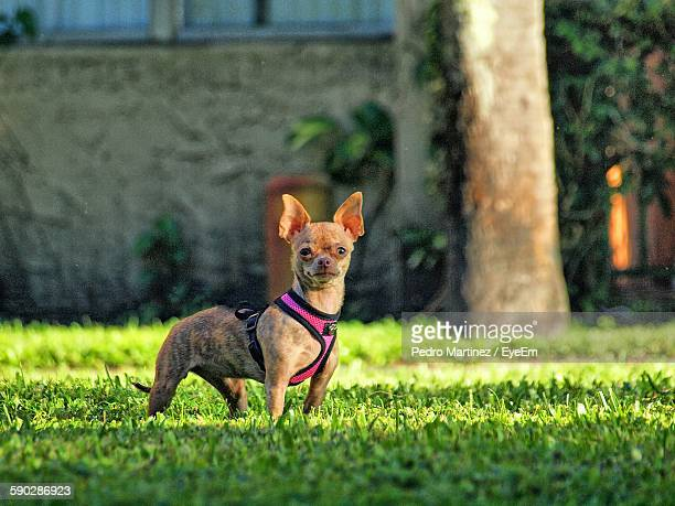 Portrait Of Dog On Grassy Field