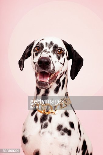 Portrait of Dog on Pink with Necklace