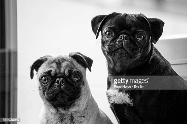 Portrait Of Dogs At Home