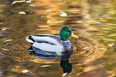 duck swimming in water with autumn leaves