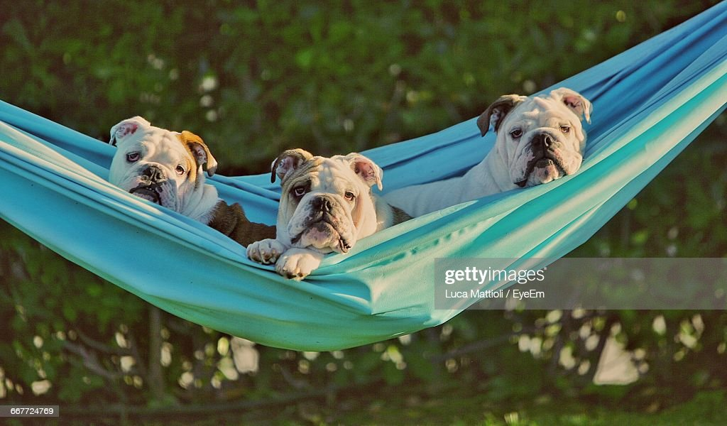 Portrait Of English Bulldogs Relaxing On Hammock
