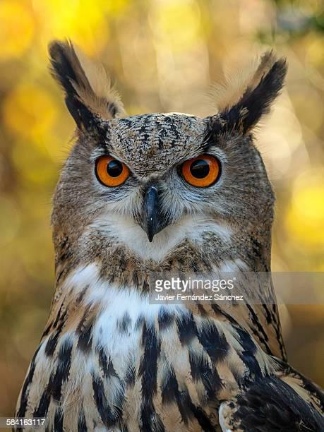 Portrait of eurasian eagle owl in autumn.