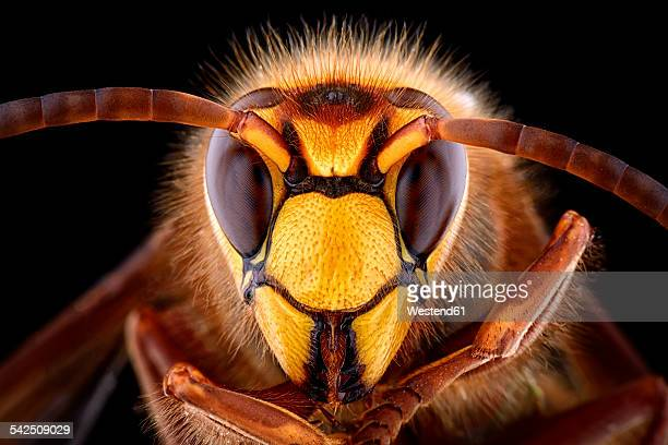 Portrait of European hornet, Vespa crabro