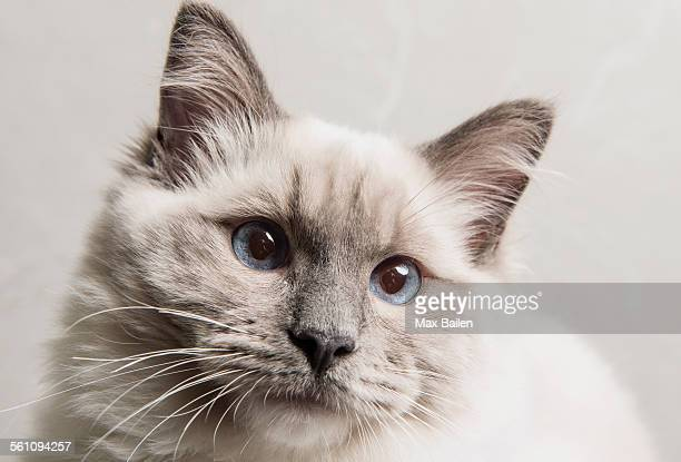 Portrait of face of Ragdoll cat, close-up