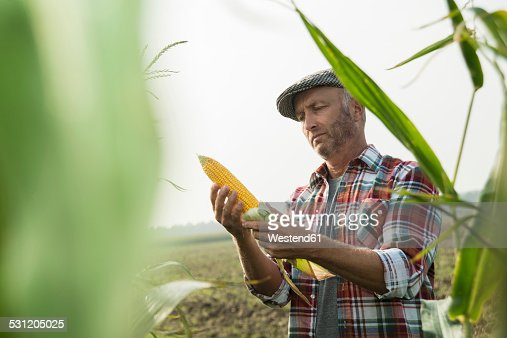 Portrait of farmer controlling corn cob in a maizefield