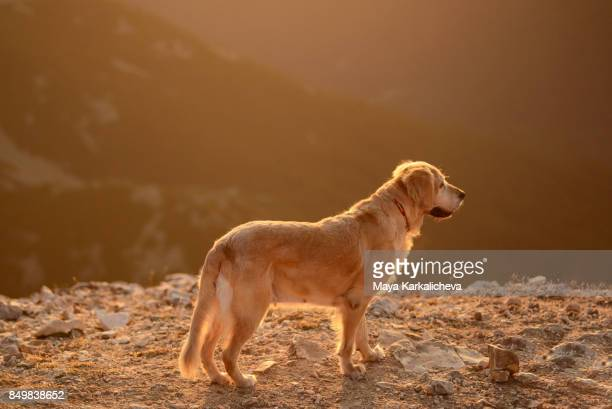 Portrait of female golden retriever dog in a beautiful sunset light