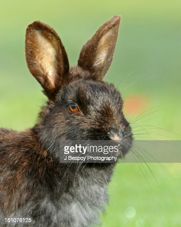 Portrait of Feral Rabbit