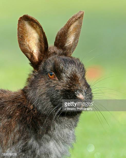 Portrait of Feral Rabbit